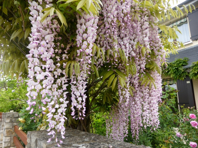 Wisteria - les glycines  - Page 6 15-05-17