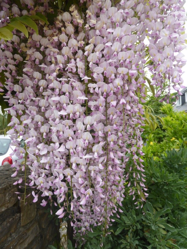 Wisteria - les glycines  - Page 6 15-05-18