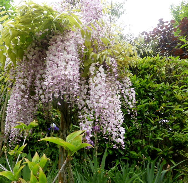 Wisteria - les glycines  - Page 6 15-05-19