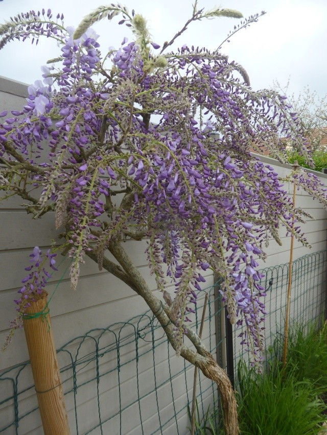 Wisteria - les glycines  - Page 5 22-04-10