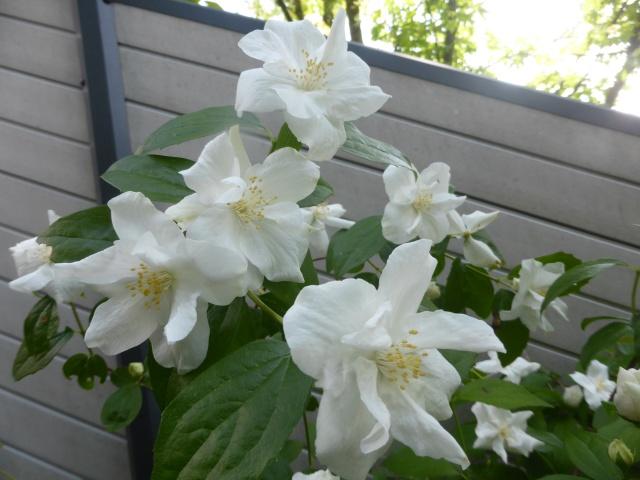 cadeaux du jardin, juin juin 26-05-12