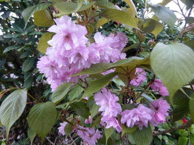 avril, jardin fébrile - Page 6 27-04-18