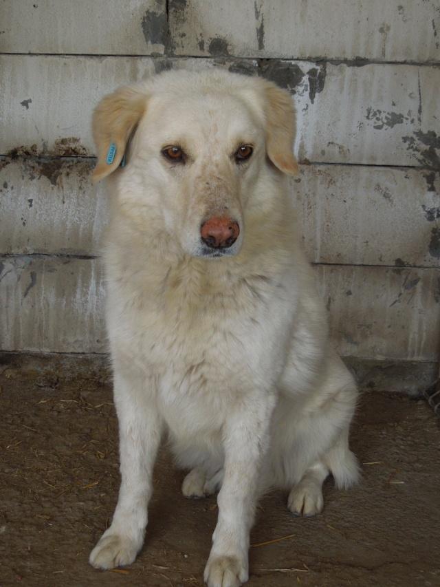 BALANUCH, mâle croisé berger sauvé de Pallady, né en 2009 parrainé par Nathalie G. -Gage Coeur  Myri_Bonnie-SC-R-SOS- Balanu11
