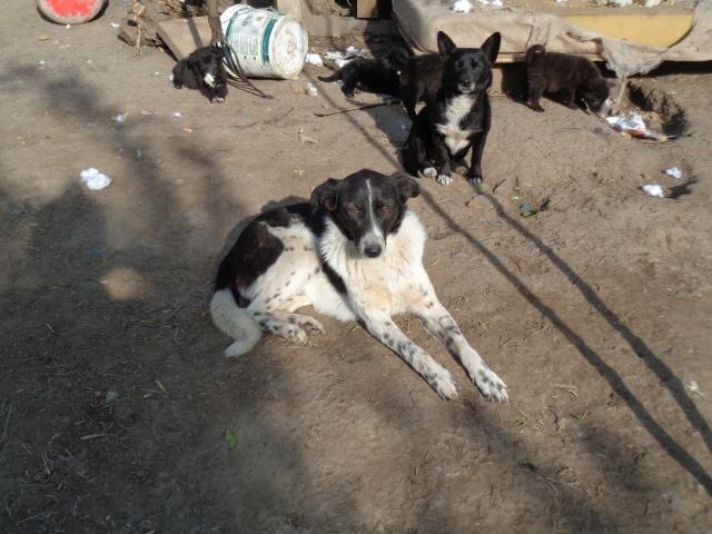 GAYA- femelle noire et blanche née en 2013- parrainée par Skara - SC-SOS-R- - Page 3 Gaya_k11