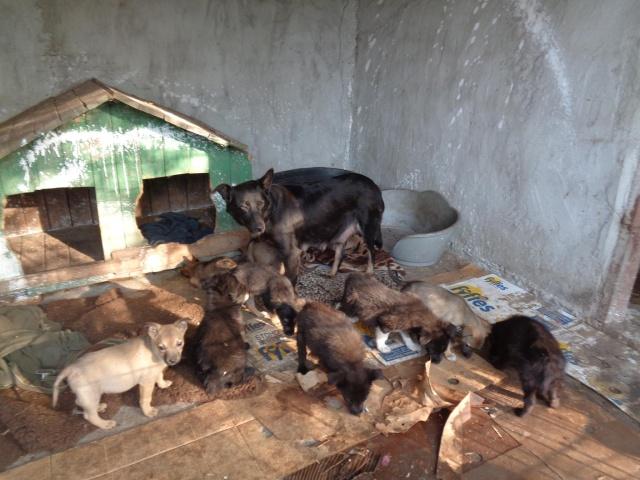 MALO - croisé berger, pelage charbonné foncé, né en mars 2016 - bébé de Indie (en FA dans le 13)- SOS-R-SC-30MA- Indie_11