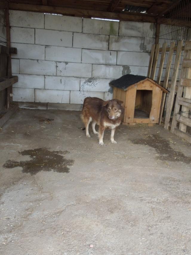 LAORA, femelle rescapée d'Oltenita du 30 avril 2015, née fin 2013, marron roux - marrainée par lilirez2 - SOS-R-SC Laora10