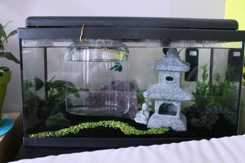 Aqua 54 litres et Betta - 2ème semaine Img_4410