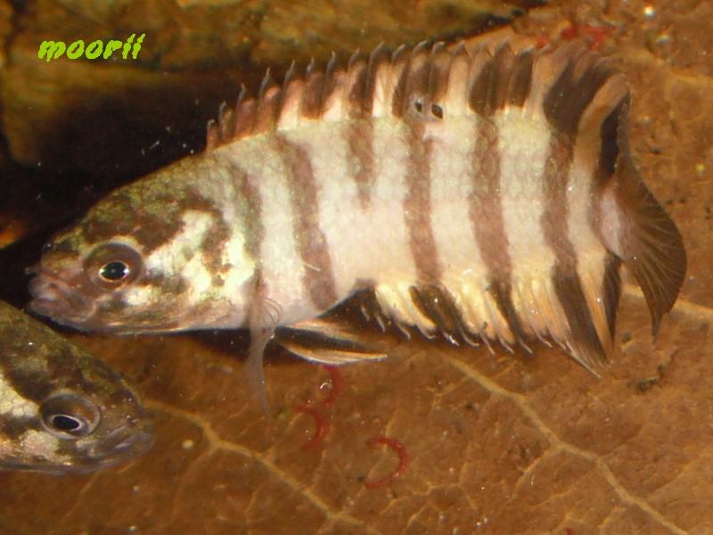 Microctenopoma ansorgii 2010