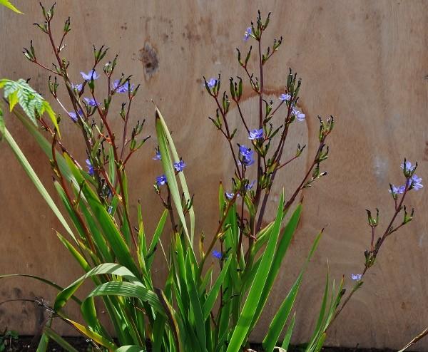 Libertia sessiliflora  (= Libertia caerulescens) 002_6011