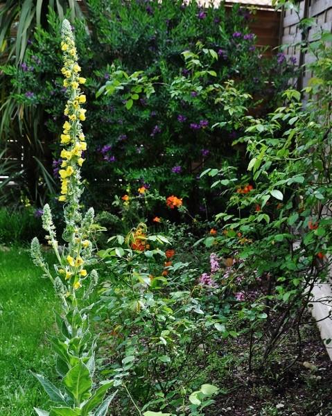 Verbascum thapsus - bouillon blanc 008_4711