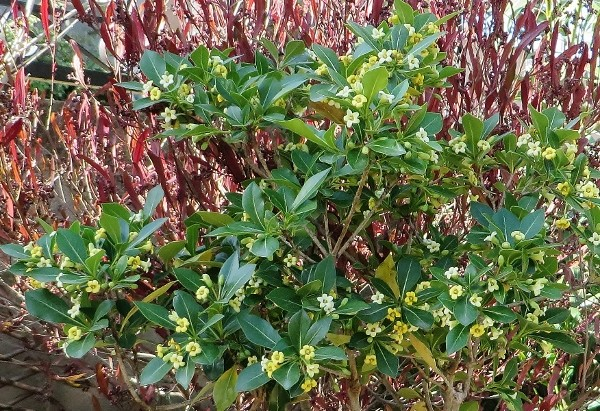 Pittosporum truncatum 022_6010