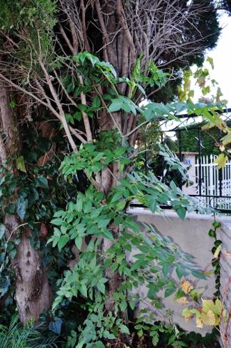 Dahlia imperialis [devinette] 055_3310