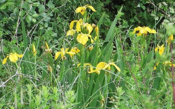 Iris pseudacorus - iris des marais  115_6010