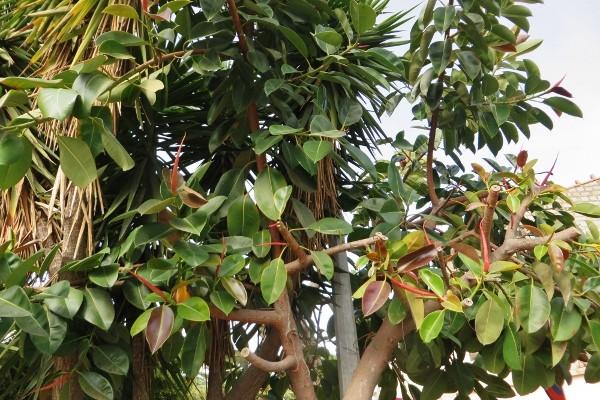 Ficus elastica - caoutchouc 133_6010