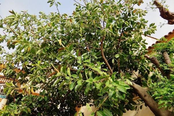 Ficus elastica - caoutchouc 137_6010