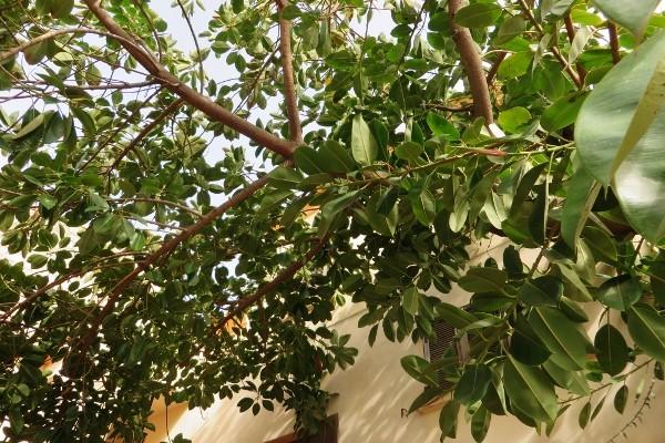 Ficus elastica - caoutchouc 138_6010