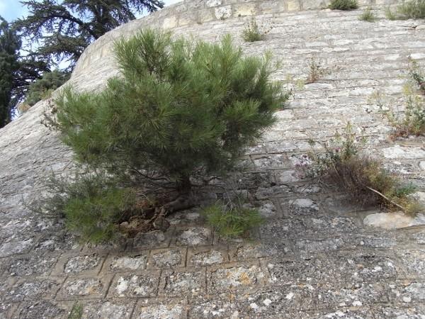 flore des vieux murs, rochers  et rocailles naturelles - Page 7 Aout_210
