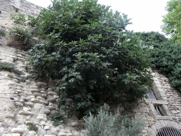 flore des vieux murs, rochers  et rocailles naturelles - Page 7 Aout_212