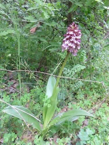 Orchis purpurea - orchis pourpre Avril_10