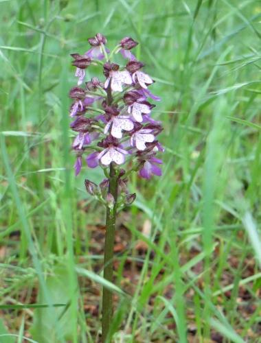 Orchis purpurea - orchis pourpre Avril_11