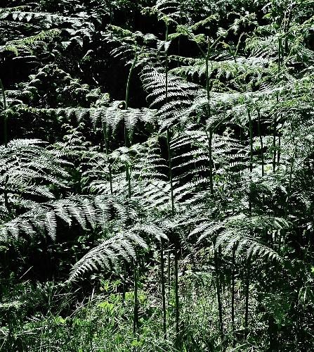 Anthriscus sylvestris - anthrisque des bois [identification] Corse_14