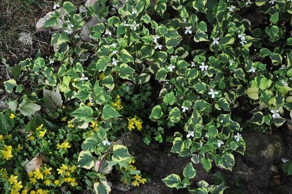 Recherche de plante couvre-sol Houttu11