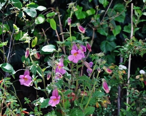 Rehmannia piasezkii  (= Rehmannia angulata) Jardin30