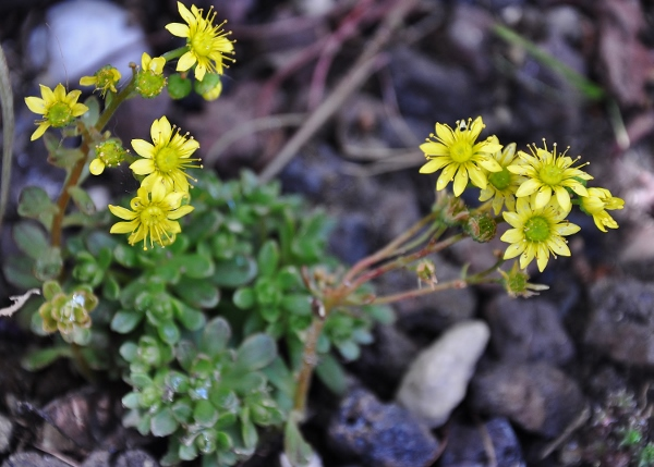 Aeonium spathulatum et A. ?? [identification non terminée] Jardin38