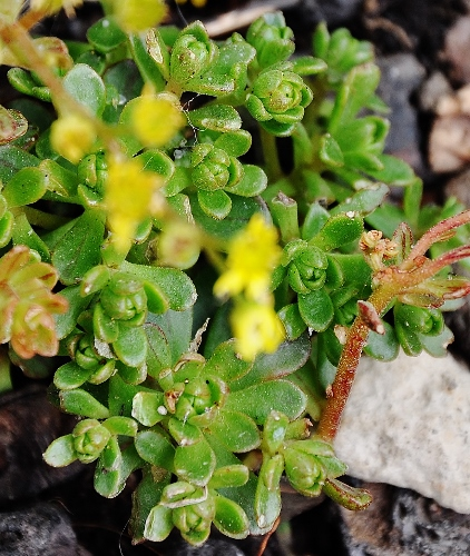 Aeonium spathulatum et A. ?? [identification non terminée] Jardin40