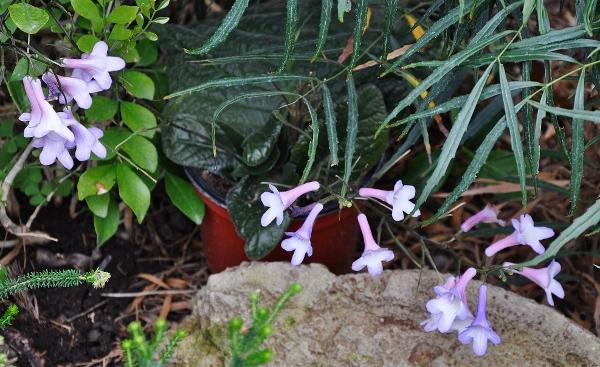 Streptocarpus wendlandii [identification] Jardin53