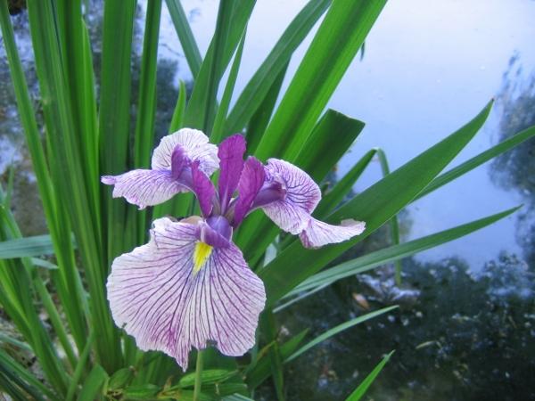 Iris ensata (= Iris kaempferi) - iris du Japon Juin_212