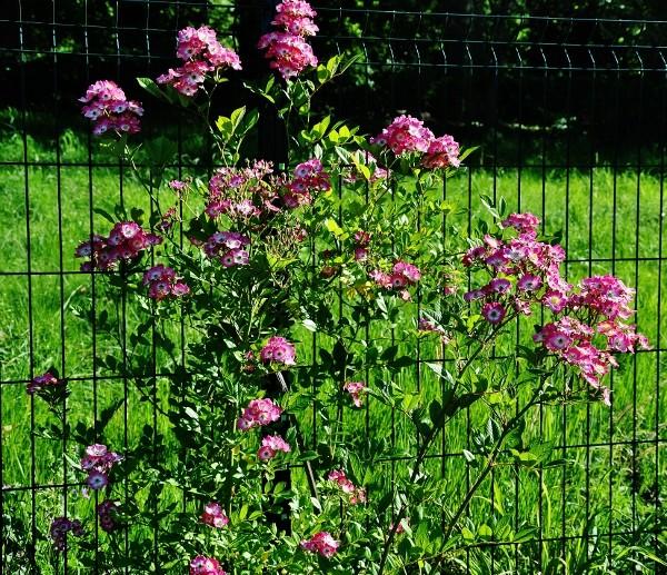 rosier 'Mozart' Juin_213