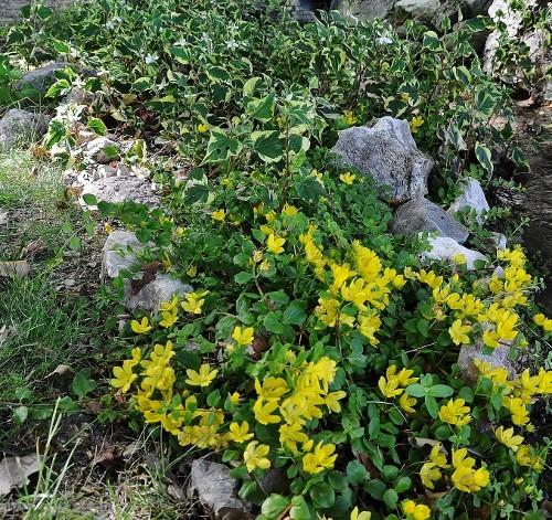 Recherche de plante couvre-sol Juin_214