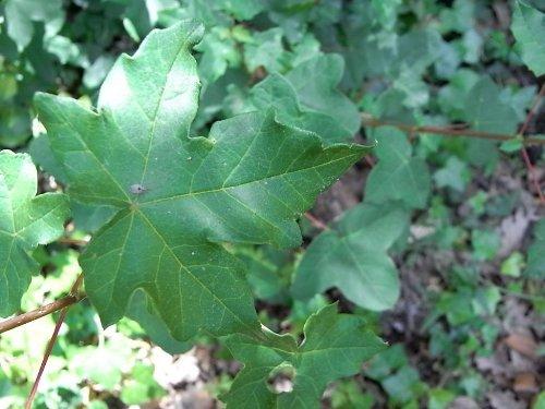 Acer campestre - érable champêtre Juin_215