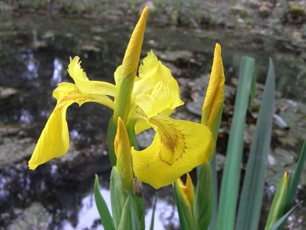 Iris pseudacorus - iris des marais  Mai_2013