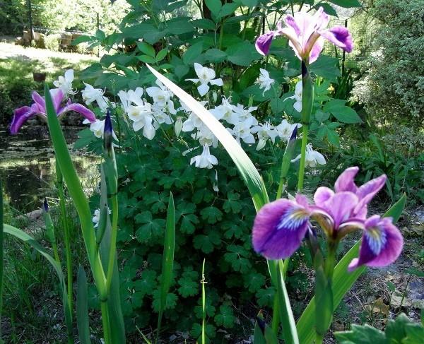 Iris ensata (= Iris kaempferi) - iris du Japon Mai_2015