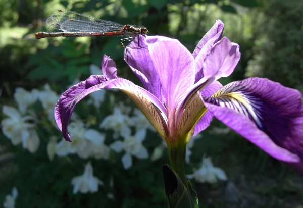 Iris ensata (= Iris kaempferi) - iris du Japon Mai_2016