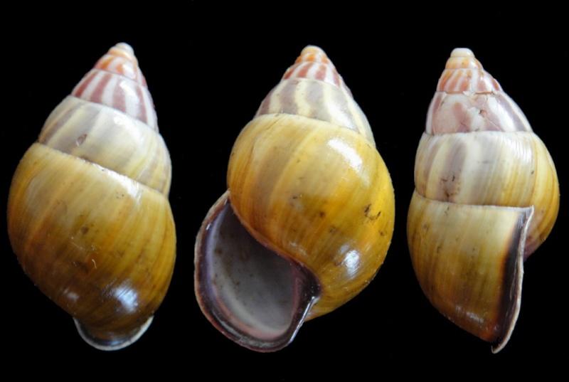 Amphidromus latestrigatus (Schepman, 1892) Amphid10