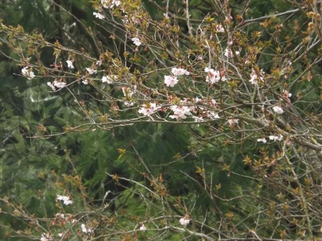 Floraisons du mois d'avril - Page 19 Dscf3942