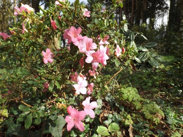 Floraisons du mois d'avril - Page 19 Dscf3944