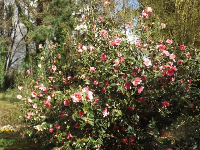 Floraisons du mois d'avril - Page 19 Dscf3946