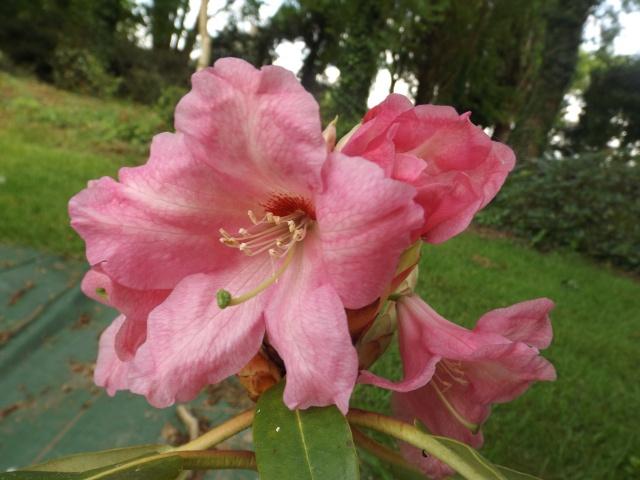 joli mois de mai, le jardin fait à son gré - Page 5 Dscf4129
