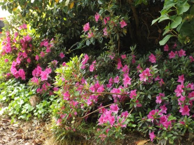 joli mois de mai, le jardin fait à son gré - Page 5 Dscf4130