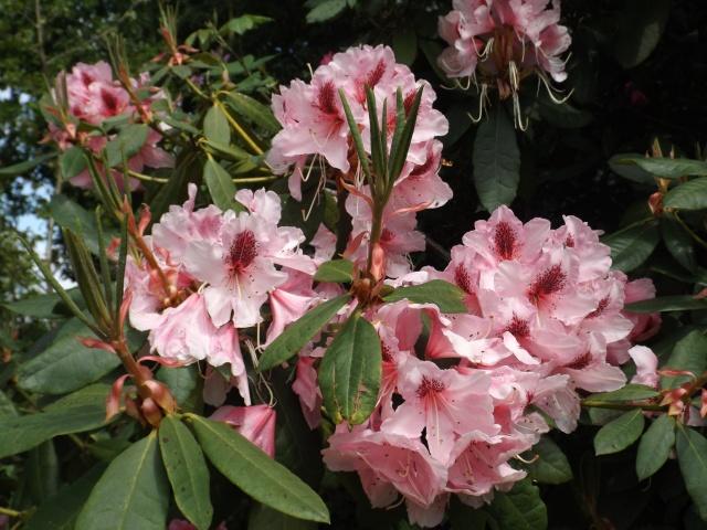joli mois de mai, le jardin fait à son gré - Page 5 Dscf4133