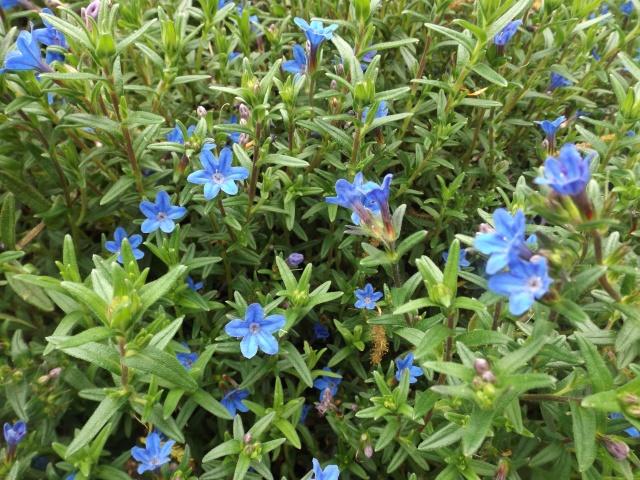 Recherche de plante couvre-sol Dscf4142