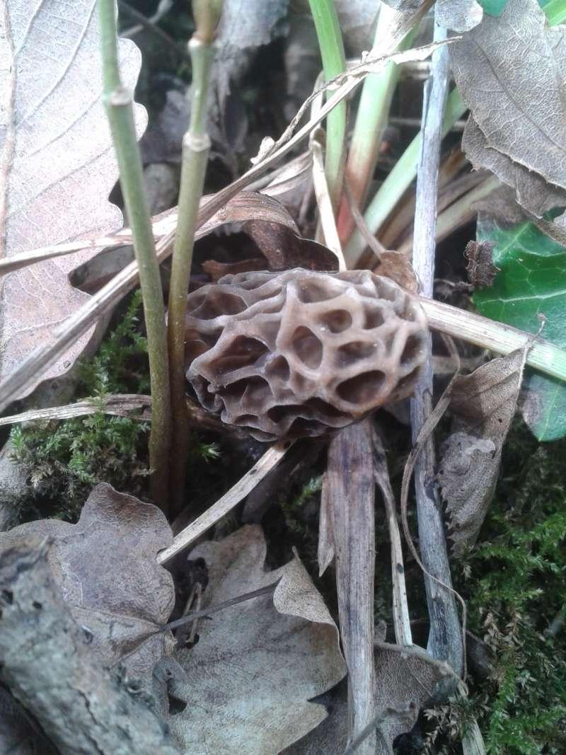 Les champignons , ( girolles , cèpes , morilles ) etc ...  - Page 42 20160419