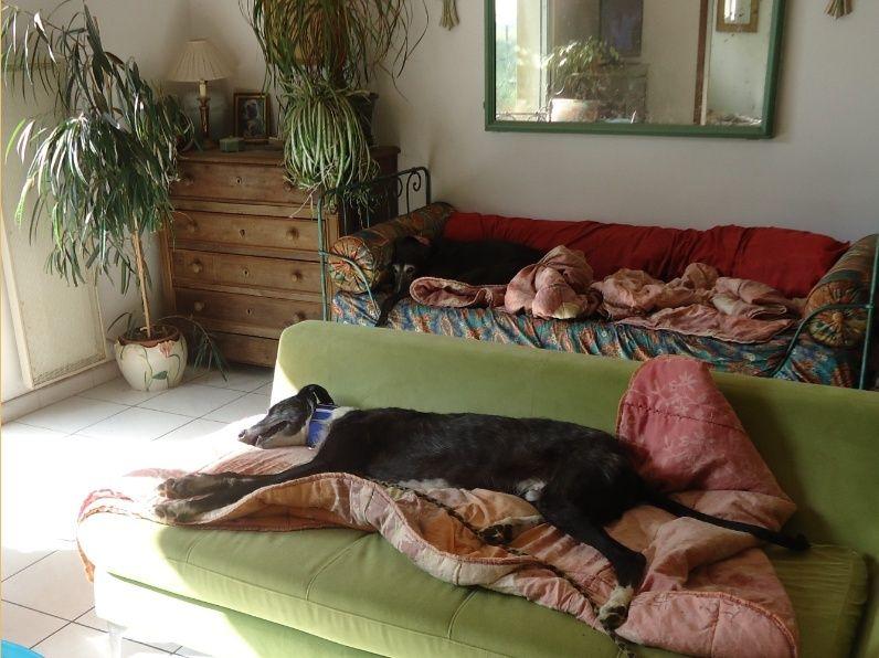 JONATHAN, merveilleux galgo barbu Scooby France  Adopté  Jonath24