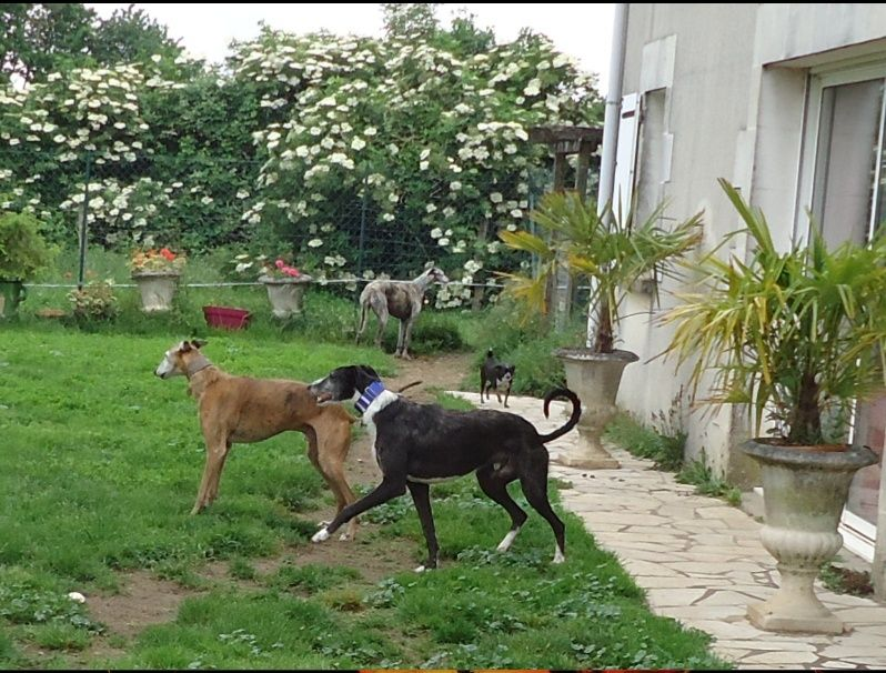JONATHAN, merveilleux galgo barbu Scooby France  Adopté  - Page 2 Jonath39