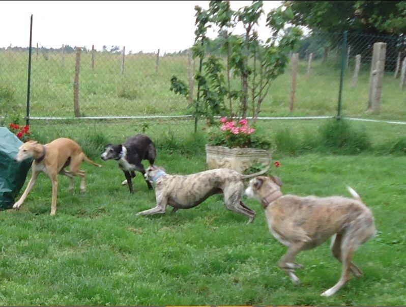 JONATHAN, merveilleux galgo barbu Scooby France  Adopté  - Page 2 Jonath42