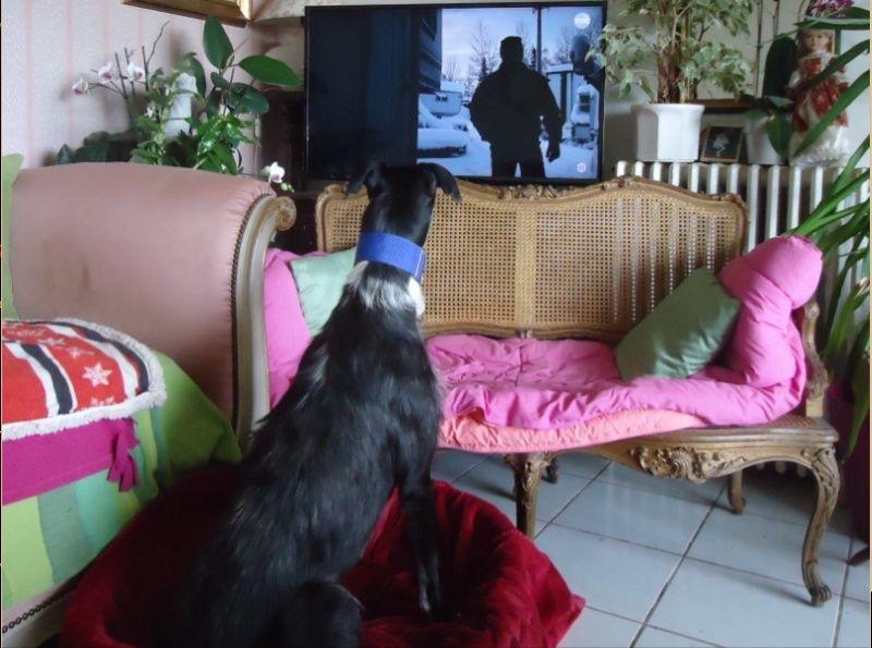 JONATHAN, merveilleux galgo barbu Scooby France  Adopté  - Page 2 Jonath43